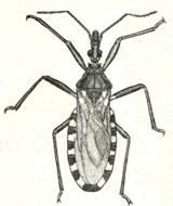 Duas Palavras Sobre a Doena De Chagas